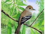 Southwestern Willow Flycatcher (Empidonax traillii extimus) BD002