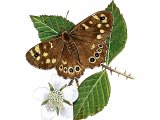 Speckled Wood (Pararge aegeria) IN004