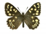 Speckled Wood (Pararge aegeria) IN001