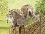 Squirrel (Grey) Sciurus carolinensis M003