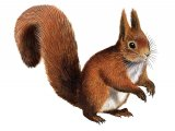 Squirrel (Red) Sciurus vulgaris M005