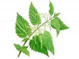Stinging Nettle (Urtica dioica) B001