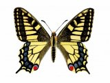 Swallowtail Butterfly ( Papilio machaon) IN002