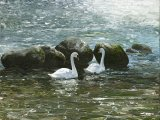 Swans and Rocks BD001