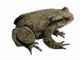 RA148 - Common Toad (Bufo bufo)