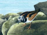 Turnstone (Arenaria interpres) BD0451