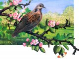 Turtle Dove (Streptopelia turtur) BD002