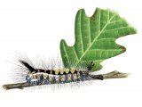 Vapourer Moth Caterpillar (Orgyia antiqua) IN001
