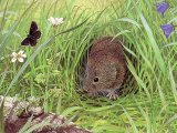 Vole (Common) Microtus arvalis M004