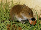 Vole (Field) Microtus agrestis M001