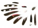 Wall Creeper feathers (Tichodroma muraria)  BD0595