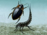 Water Beetle (Colymbetes fuscus) IN014