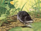 Shrew (Water) Neomys fodiens) M006