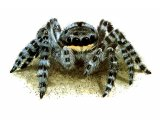 Wolf Spider (Lycosidae spp.) OS002