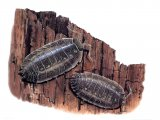 Woodlouse (smooth) Oniscus asellus OS002