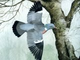 Wood Pigeon (Columba plumbs) BD002