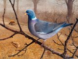 Wood Pigeon (Columba plumbs) BD001