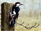 Woodpecker (great spotted) Dendrocopos major BD001
