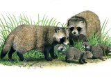 raccoon dog (Nyctereutes procyonoides) M001