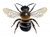 Bee (Large Mason) Osmia xanthomelana IN001