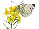 Green-veined White (Pieris napi) IN004