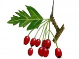 Hawthorn Berries (Crataegus monogyna) BT024