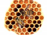 Honey Bee (workers) Apis mellifera IN004