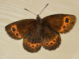MU034 - Mountain Ringlet Butterfly painting in the Duart carriage