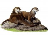 Otter (Lutra lutra) M004