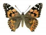 Painted Lady (Vanessa cardui) IN001