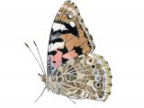 Painted Lady (Vanessa cardui) IN003