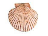 Scallop (Queen ) Aequipecten opercularis OS001