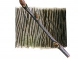 Sweet Chestnut bark & twig (Castanea sativa) BT074